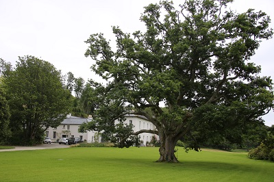 The oak tree that has stood in the grounds for 400 years