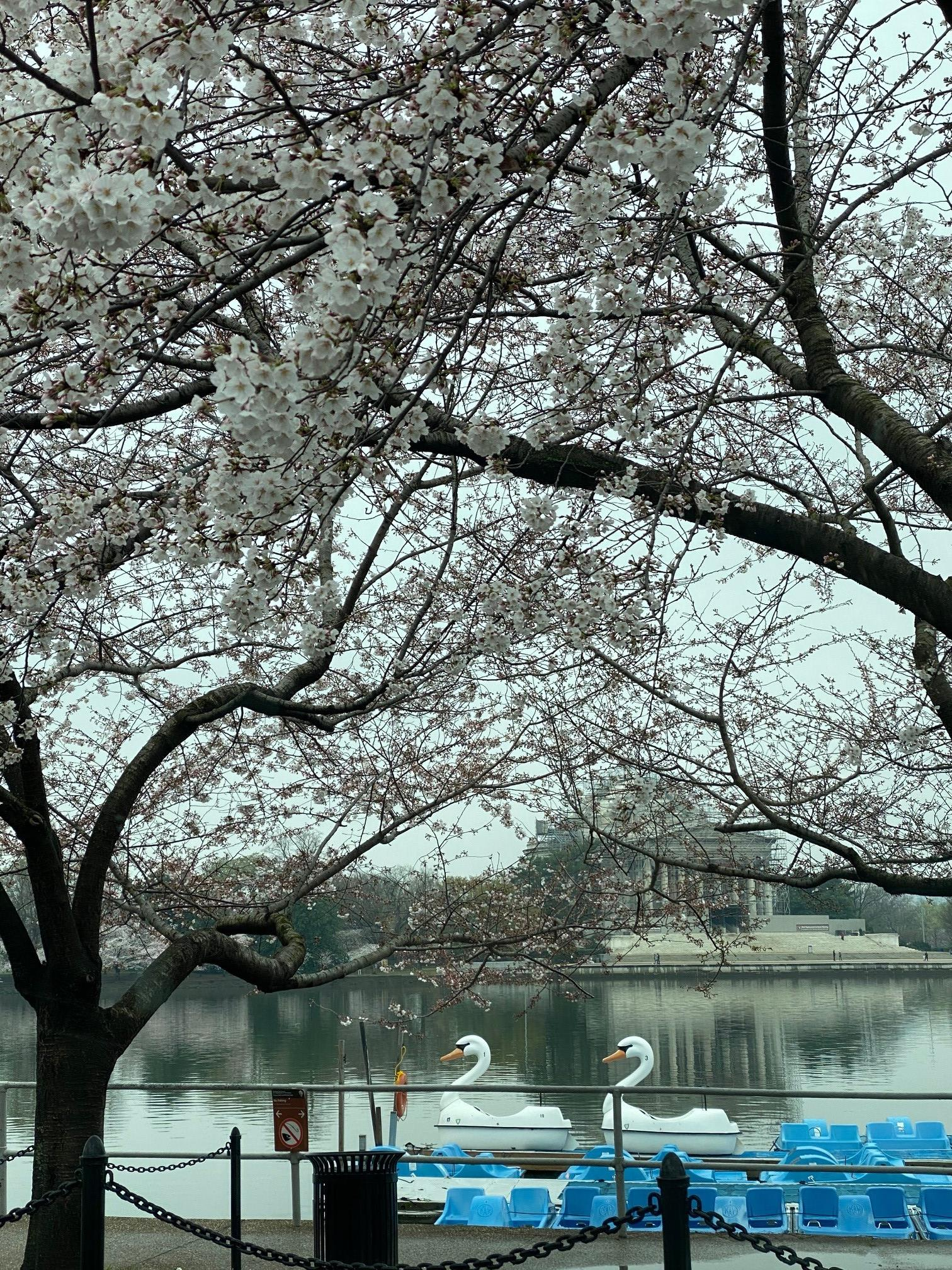 Blossom in DC
